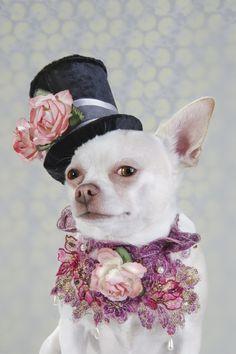 Dog Vogue, Portraits of Chihuahuas in High Fashion