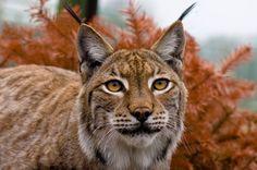 british lynx cat - Google Search