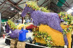 Tulpenwagen werden geschmückt für den Bollenstreek Blumencorso  ... #tulpen #blumencorso