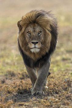 Best Lion Photos You Never Seen Before - Animals Comparison Lion Images, Lion Pictures, Beautiful Cats, Animals Beautiful, Big Cats, Cats And Kittens, Lion Photography, Lions Photos, Wild Lion
