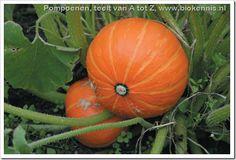 Pompoenen biologisch kweken: teelthandleiding - GroentenInfo