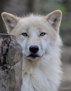 Arktischer Wolf (Canis lupus arctos)