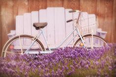 Vintage Bike in Lavender