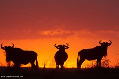 Wildebeest at sunset,Masai Mara safaris.