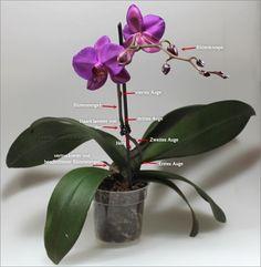 Was ist was an einer Phalaenopsis-Orchidee