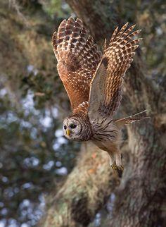 cc  Barred Owl in Flight