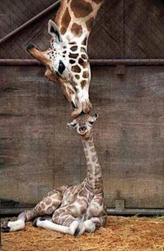 Lovely giraffes :) <3