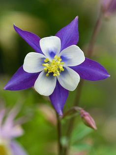 Rocky Mountain Columbine. Well hello