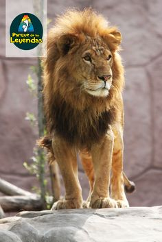 León. El macho tiene una llamativa melena y llega a pesar 250 k, mientras que la hembra a unos 140 k. Son los únicos felinos que viven en manadas. Son carnívoros y son las hembras las que cazan y crían a los cachorros. Se ubican en el continente africano y se encuentra en estado vulnerable.