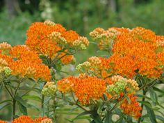 Asclepias tuberosa (Asclepiadaceae)  (as-KLEP-ee-as tew-ber-O-sa)   Butterfly Weed