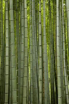 Bamboo Forest - Kyoto - Japan