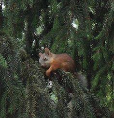 Darling baby squirrel sleeping in a tree.