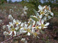 Coastal Plain Serviceberry (Amelanchier canadensis) Dwarf, Coastal, Plants, Planters, Dwarfism, Plant, Planting