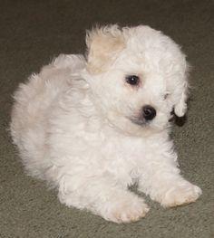 Bichon Puppy  www.sukeykennel.com