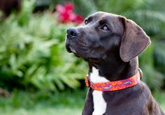 Google Image Result for http://www.pets-r-loved.com/images/end_products/collars_harnesses_charms/lupine_dog_gecko_worn.jpg