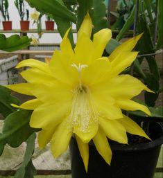 """Epiphyllum """"Kiwi John Boy"""""""