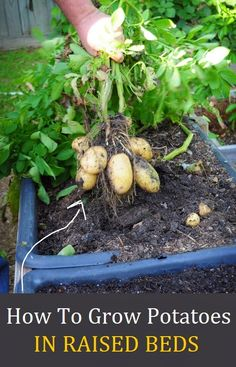 How To Grow Potatoes in Raised Beds