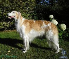 Borzoi (Russian Wolfhound) breed Photo