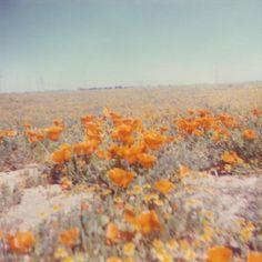 California Poppies Vintage Photo Print
