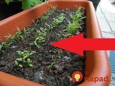 Na toto video som natrafil minulý rok a skúsili sme to aj doma. Naozaj, o 3 hodiny môžete vidieť malé slížiky - výhonky petržlenu nad zemou. Za všetko môže urýchľovač klíčenia, na ktorý by som Garden Inspiration, Bonsai, Plants, Nature, Herbs, Pelargonium, Growing, Garden