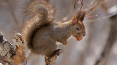 Eurasian red squirrel on Hokkaido Island, Japan (© stock_shot/Shutterstock)