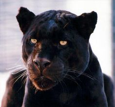 Malcolm the black panther