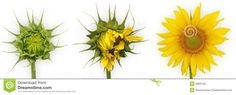 crecimiento-del-girasol-3922142.jpg (1300×524)