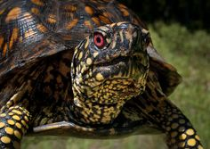This Eastern Box Turtle (Terrapene carolina) was photographed on the Brookhaven National Laboratory site. {This is what my guy is. Land Turtles, Cute Turtles, Box Turtles, Animals And Pets, Cute Animals, Rock Animals, Different Types Of Turtles, Sea Turtle Wallpaper, Eastern Box Turtle