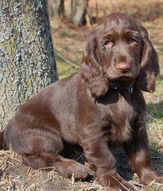 Field Spaniel puppy