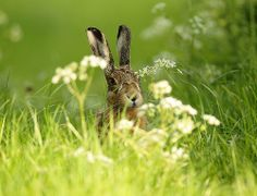 Brown Hare in meadow flowers, Suffolk evening. Lepus europaeus. www.mikerae.com