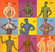 The Human Body: What It Is and How It Works, in Vibrant Vintage Illustrations circa 1959 by Cornelius De Witt. Pseudo Science, Science And Nature, Life Science, Anatomy Art, Human Anatomy, Medical Student, Children's Medical, Human Body Systems, Nursing Notes