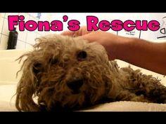 Bichon Frise rescue..