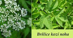 Bršlice kozí noha (latinsky Aegopodium podagraria) spadá do čeledi miříkovité, je vysoká 50-100 cm, kvete v květnu-září. Je to vytrvalá bylina. Dlouhépodzemní oddenky, lysá, lodyha hranatá, listy jednou až dvakrát trojčetné, lodyžní lístky střídavé, s nafouklou listovou pochvou. Květy bílé, ve složených okolících, bez zákrovních listů. Plod podélný vejčitý, hladký, žebrovitě zvrásněná nažka.... Axl Rose, Healing Herbs, Herb Garden, Detox, Flora, Health, Plants, Musicals Broadway, Theatre Problems