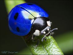 There are blue ladybugs but they are native to Hawaii and don't look like the picture above. Description from chinaadopttalk.com. I searched for this on bing.com/images