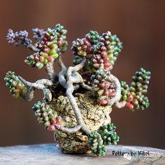 Sedum furfuraceum pottery