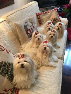 Maltese dogs...They are so adorable...