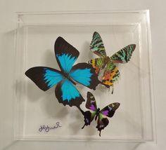 butterfly display framed butterflies by NATUREARTBUTTERFLIES