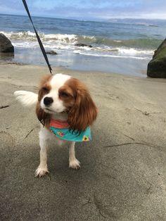 Colette, beach dog. Cavalier King Charles