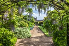 Blue flowering Chinese wisteria sinensis in the walled garden of Bowood House in Wiltshire.