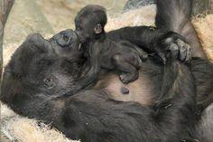 Gorilla Gorilla, Cute Baby Animals, Animals And Pets, Funny Animals, Newborn Animals, Newborn Babies, Primates, Beautiful Creatures, Animals Beautiful