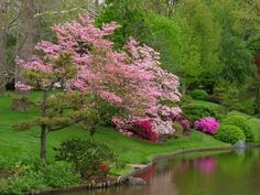 Pink Dogwoods and Azaleas are becoming more popular in landscaping for Spring Color.