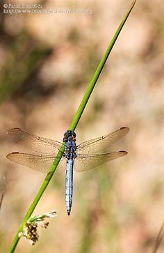 Nombre científico: Orthetrum coerulescens, Provincia/Distrito: Zamora, País: España, Fecha: 02/07/2016, Autor/a: Patxi Establés, Id: 815367