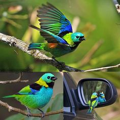 Save Our Green » Green headed tanager