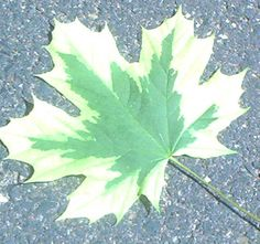 Variegated Maple. Although most types of maple trees are grown for their fall foliage, some maples are prized for their variegated leaves, such as the one shown here.  Among the many maple trees with variegated foliage are Acer pseudoplatanus 'Brilliantissimum' and Acer rubescens 'Silver Cardinal.