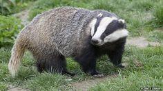 Badger a Badger not !!