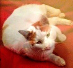Missing Cat: DAVEY CROCKETT,  8 yrs old, near 45th & Kingsessing Ave, Clark Park area, West Philadelphia. Contact if seen:  215-385-2772.   R E W A R D