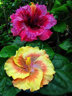 Hibiscus. Hibiscus Plant, Hibiscus Flowers, Exotic Flowers, Tropical Flowers, Amazing Flowers, Purple Flowers, Beautiful Flowers, Rosa China, Birthday Month Flowers