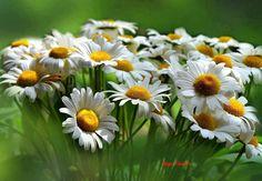 Daisy love. . . . . .