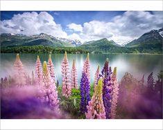 An poster sized print, approx (other products available) - Lupins in bloom on the shores of the Lake of Sils shaken by a strong wind. Sils, Engadine, Canton of Graubunden, Switzerland - Image supplied by AWL Images - Poster printed in Australia