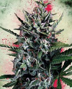 Lets Make This Beautifull Plant Legal #dank #kush #joints #hash #dabs #420 #710 #stoned #maryjane #cannabis #marijuana #ganja #weedporn #pothead #stoner #weed #dope #reefer #purp #topshelf #luxury #art #stonerdays#tagafriend #followback#weedlondon#weed#cannabisfashion#fashion
